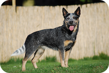 True-Blue Outback Heeler A Perfect Glory